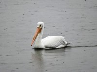 pelican-in-the-rain-2